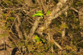 The white-fronted parrot, Costa Rica