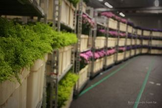 Some of the 20 million flowers traded every day at the flower auction in Aalsmeer, The Netherlands