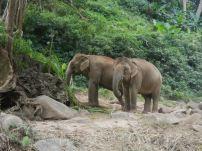 Asian elephants feeding along the Mae River, Chiang Mai, Thailand