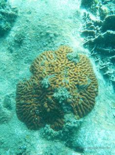 A meandroid coral, Koh Rong Samloem, Cambodia