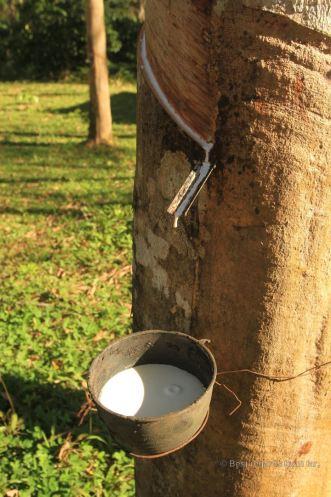 Rubber tapping, Manora Garden, Phang Nga, Thailand