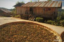 Tea leafs drying in Ban Komaen Tea Village, Pongsali, Laos