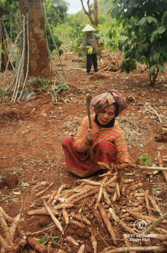 Harvesting Manioc, the Swing, Laos