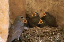 Birds nest in the château Comtal, cité de Carcassonne, France
