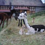 Ganz entzückende kleine Alpaka-Mädchen
