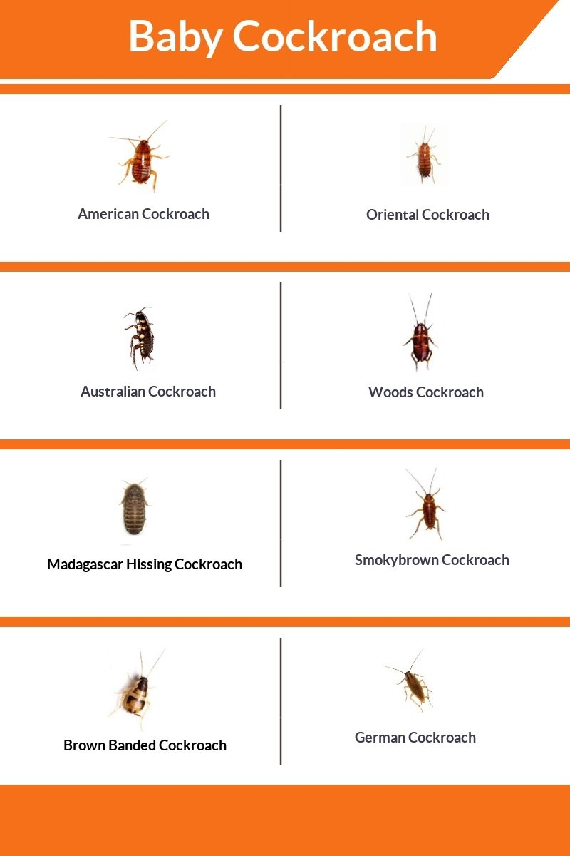 How Many Baby Roaches Are In A Egg : roaches, Roaches, Like?, Cockroach