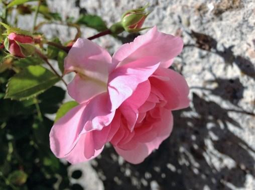 bonica-82-rose-4