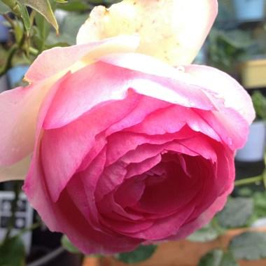 eden-rose-3