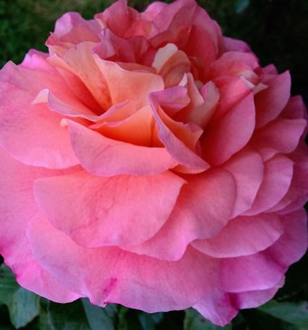 augusta-louise-rose