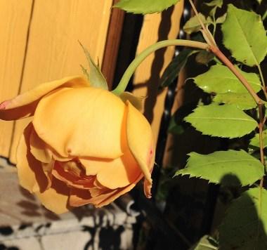 golden-celebration-rose-3
