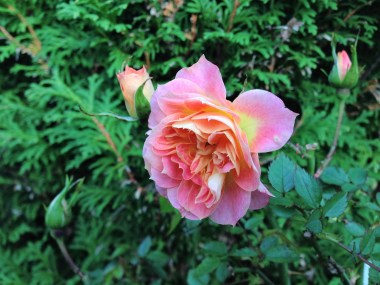mandarin-rose-4