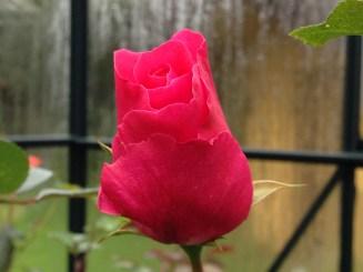 romanze-rose-bud-2
