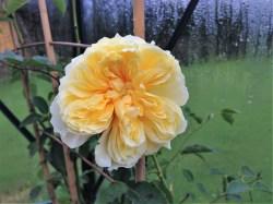 the-pilgrim-rose