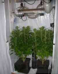 Growing Weed Indoors the Easy Way   Best Seed Bank