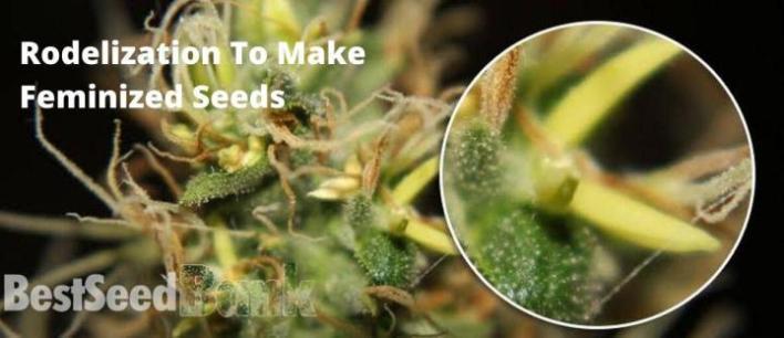Rodelization Tо Make Feminized Seeds