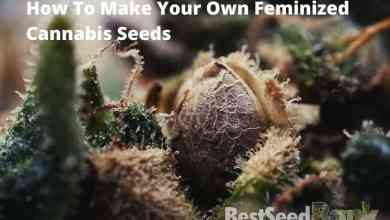 Photo of Making your own feminized cannabis seeds