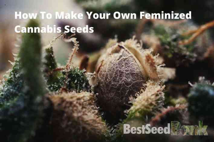 making your own feminized cannabis seeds