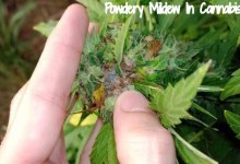 Photo of Powdery Mildew Control During Cannabis Growth