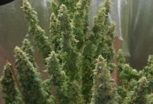 Photo of Autoflowers 10 ways to increase yield