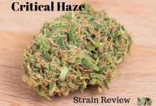 Photo of Critical Haze Strain Review