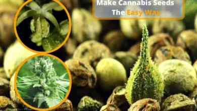 Photo of Make Cannabis Seeds The Easy Way.