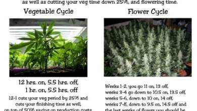 Photo of The Gas Lantern Cannabis Light Schedule
