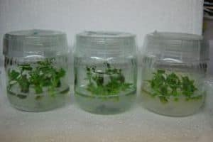 Photo of Plant Tissue Culture: For Gardeners as well as Geeks?