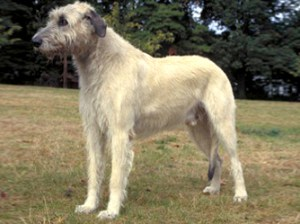irish-wolfhound