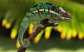 Leaord's Chameleon