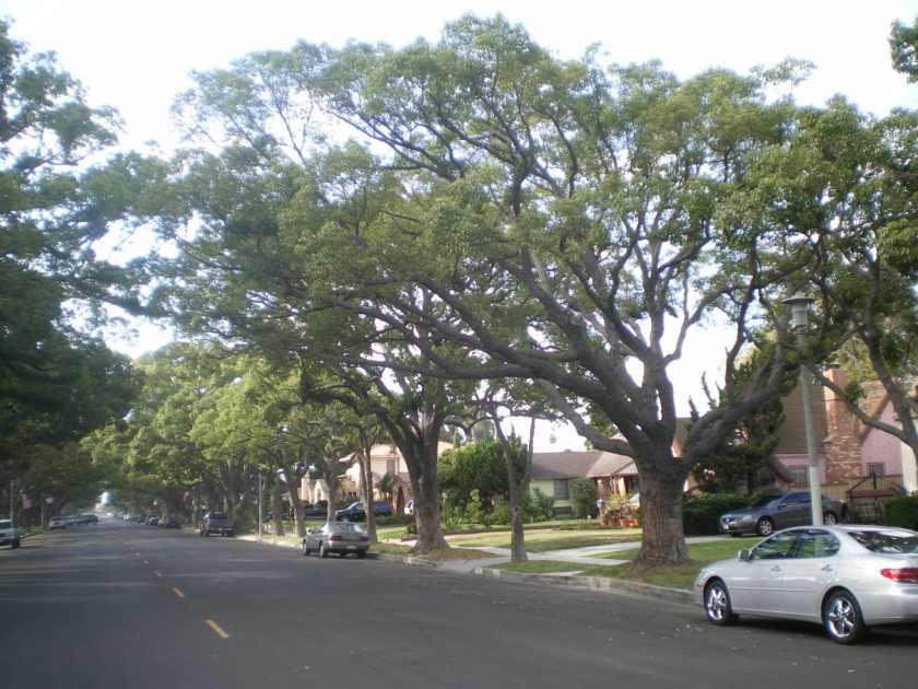 Best tree Camphor Tree