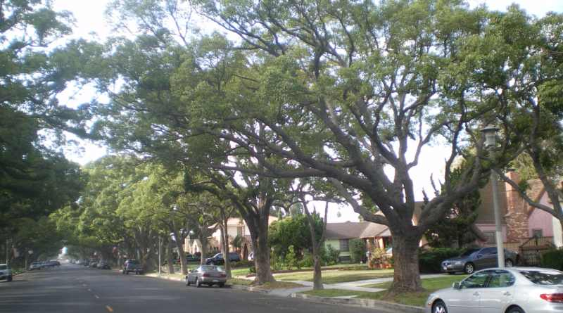 Best tree Camphor Tree