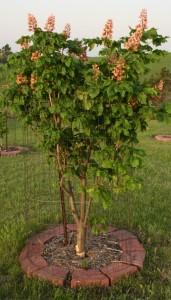 Aesculus carnea 'Briottii'  051011 (7) comp