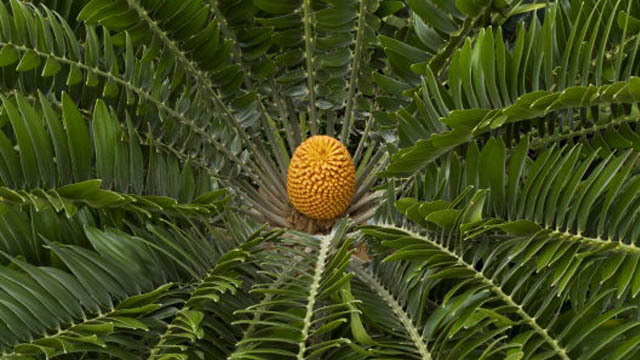 Encephalartos woodii pollen seed