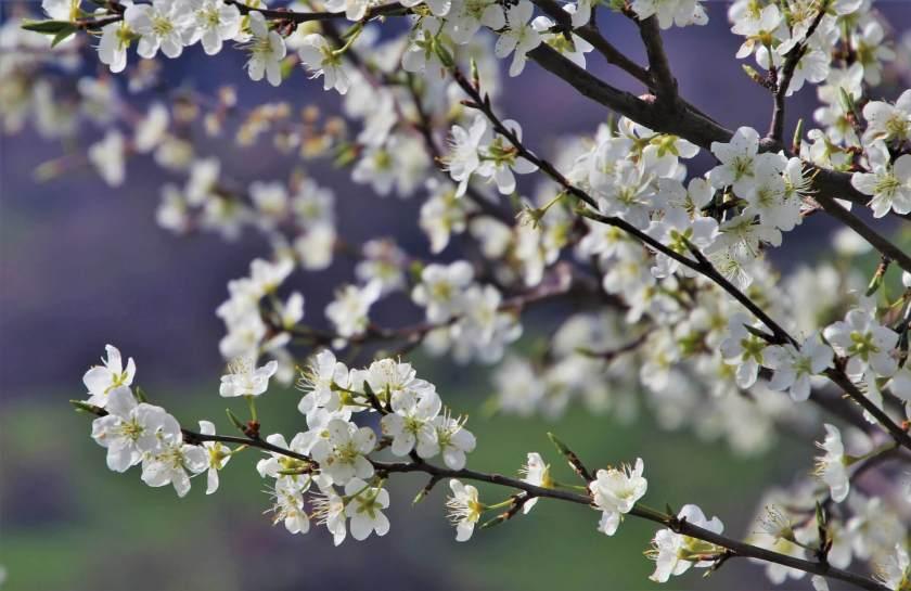 Spring, Twigs, Flourishing, White, The Delicacy