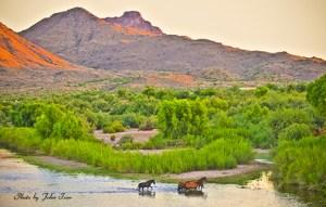 Wild Mustangs Walking in the Salt River of Arizona at Sunset in