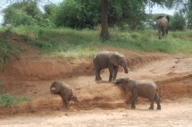 Selv småelefanter blir fort tunge i kroppen