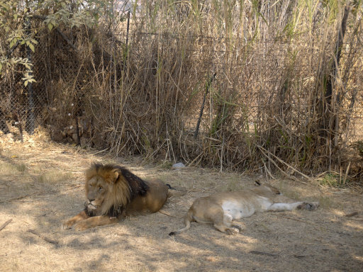 Lions at Lion Park in Johannesburg, South Africa. Credit: PA