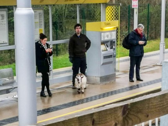 Commuters in Manchester didn't seem at all bothered by the goat at the tram stop. Credit: Mercury Press & Media Ltd