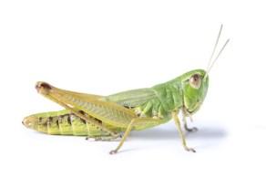 Image result for grasshopper