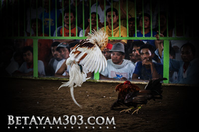 Sabung Ayam S128 Live Streaming Deposit Bank Btn