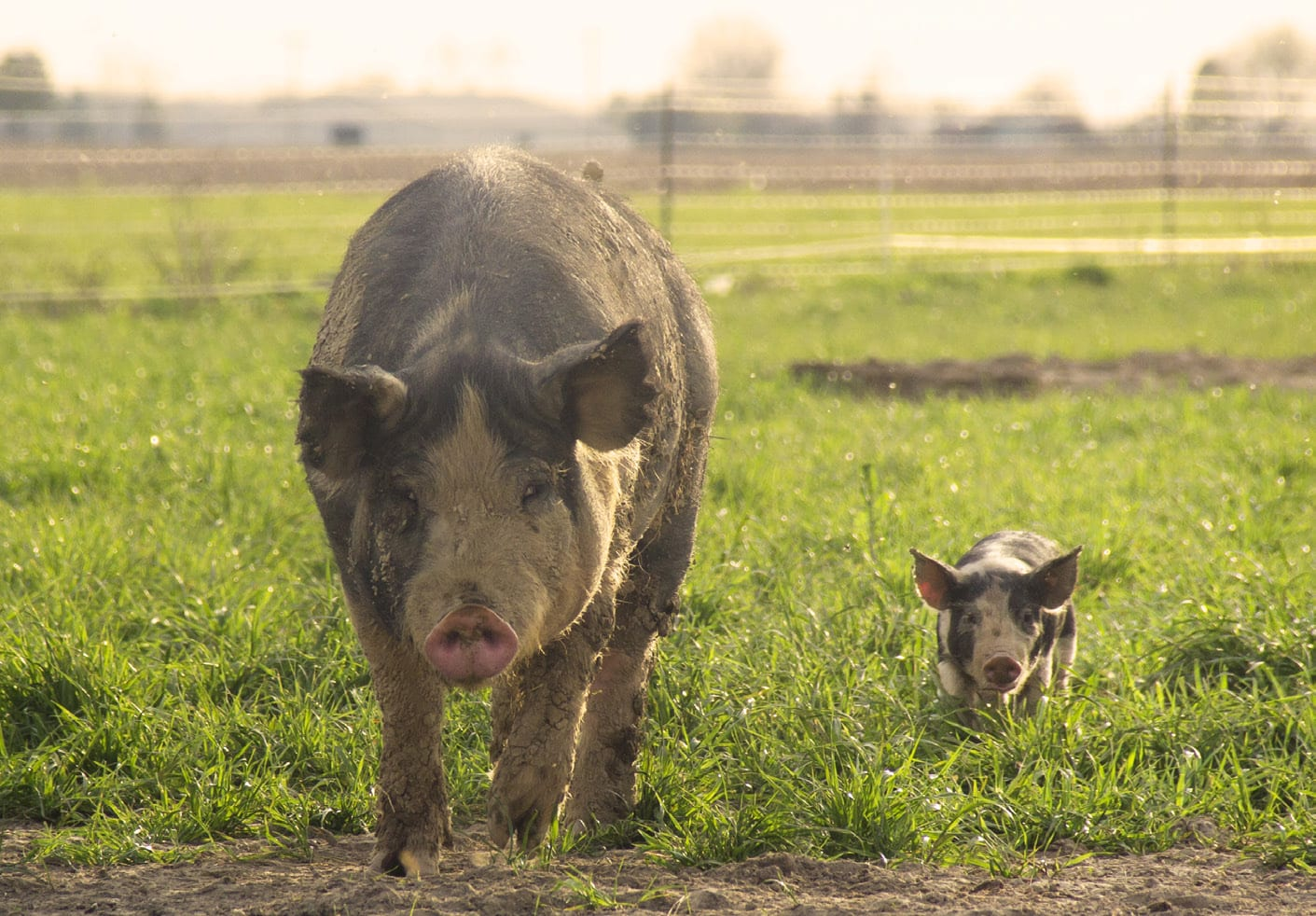 Seven Sons Farms | Free range pigs in the pasture — raised without hormones, antibiotics or GMOs.