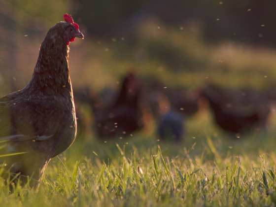 Free-range chickens at Seven Sons' partner, Gunthorp Farms | Seven Sons Farms