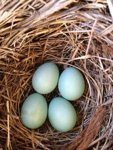 The eggs hatch 12 to 14 days after incubation starts.