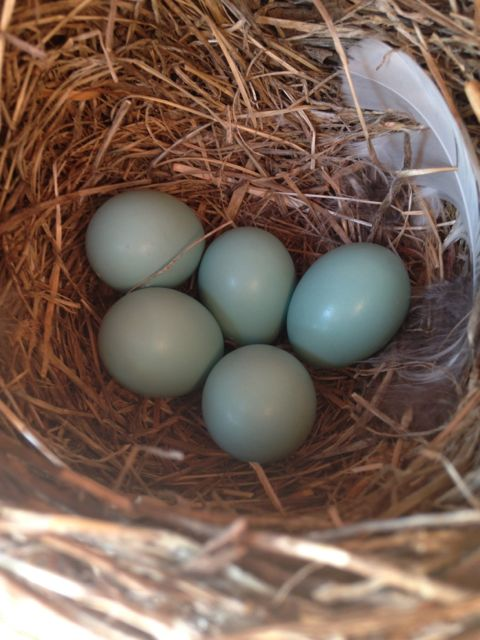 Five bluebird eggs for their first clutch of the year! 4/22