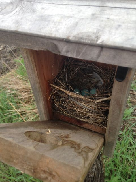 A bluebird house with new nest and eggs! 4/19