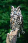 Ollie, Great Horned Owl