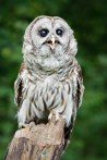Spencer, Barred Owl