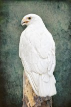 Isis, Leucistic Red-tailed Hawk