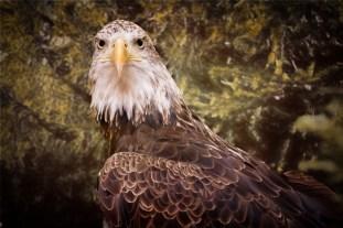 Eli, Bald Eagle