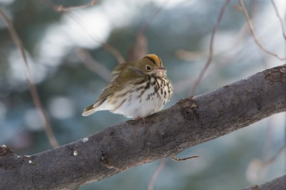 Ovenbird in Longmont, Dec 2013